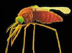 Lutte contre le paludisme : L'espoir d'un vaccin vient du Canada