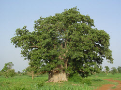 L'arbre Baobab du Sngal