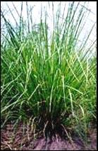 Plante de KHAMARE (VETIVERIA NIGRITANA)