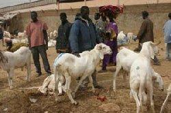 Bakel : Approvisionnement en moutons , situation